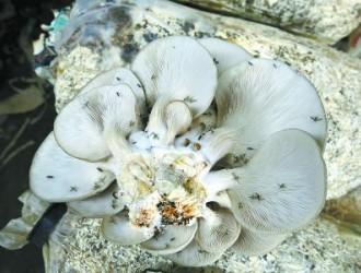 食用菌生产避免菇蚊蝇为害