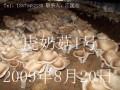 虎奶菇袋内覆土出菇法