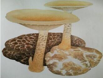 高级滋养补品之虎奶菇菌核