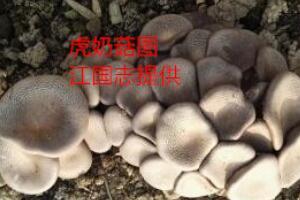 大有发展前途的珍稀食用菌——虎奶菇