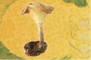临川虎奶菇诞生记