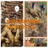 贵州贵阳天麻怎样种植产量高