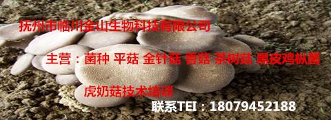 临川虎奶菇技术培训