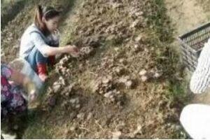 江西:抚州市临川区成为江西省内虎奶菇主产区
