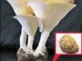 虎奶菇 (5)